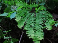 Maidenhair fern at Hitchcock Nature Center. Photo by Robert Smith.