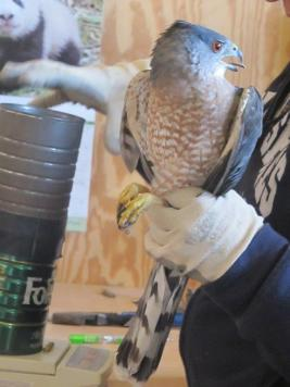 Banding Cooper's hawk at Hitchcock Nature Center. (Robert Smith)