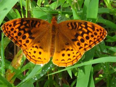 Great Spangled Fritillary (Robert Smith).