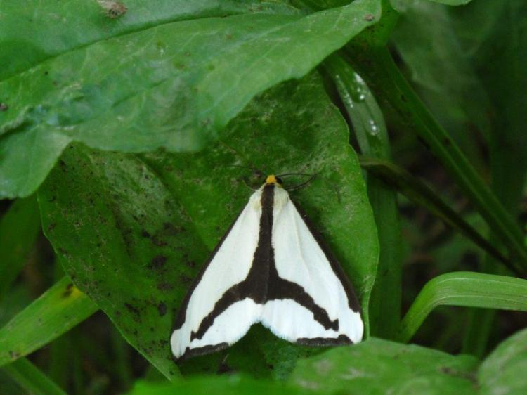 Pollinator moth of the genus Haploa, Hitchcock Nature Center. (Robert Smith)