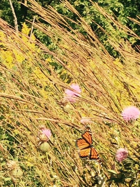 Monarch on thistle. (Jennifer Godfry)