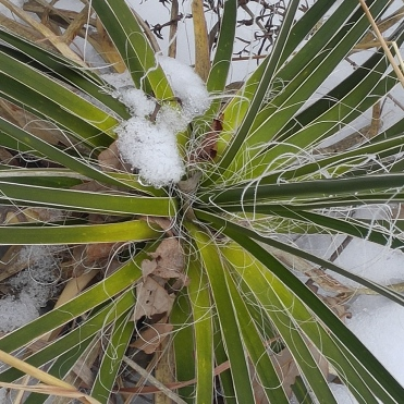 Yucca glauca at Waubonsie State Park, January 2016. (Robert Smith)