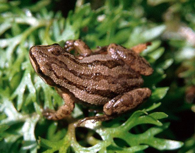 boreal chorusfrog