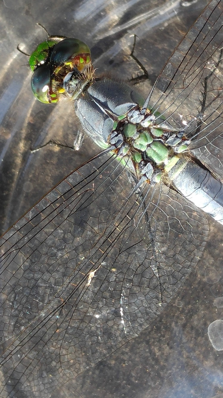 pondhawk male