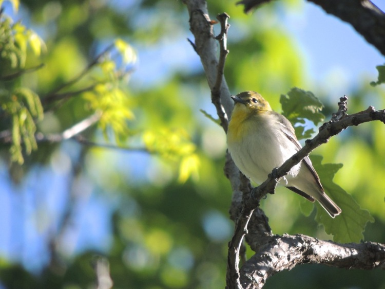 Yellow throated vireo fall - photo#7