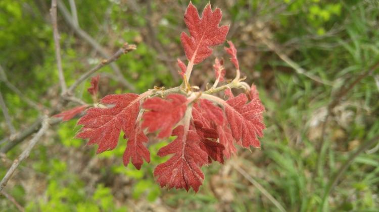 black oak, new leaves