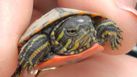 painted hatchling