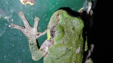 graytreefrog