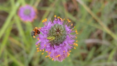 purpleprairieclover