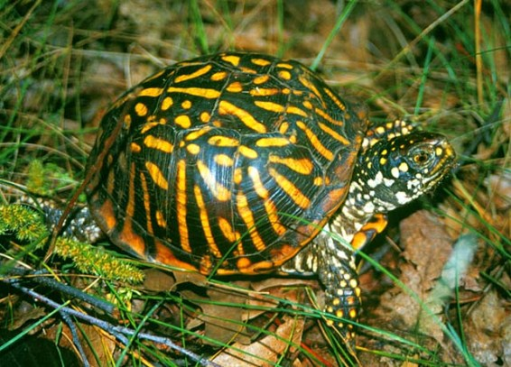 Ornate_Box_Turtle jeffleclere