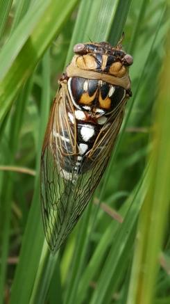 becky's cicada