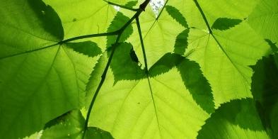 canopy at pahuk