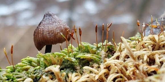 waubonsiefungus and moss