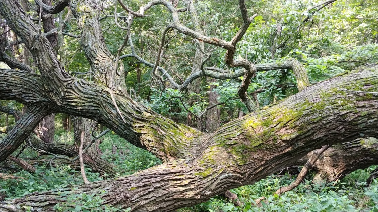 fallen oak pahuku