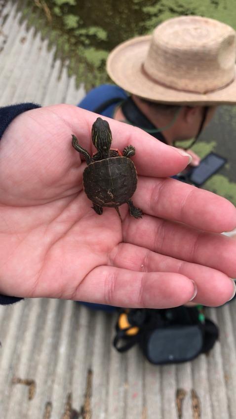 turtlechelsebalzer
