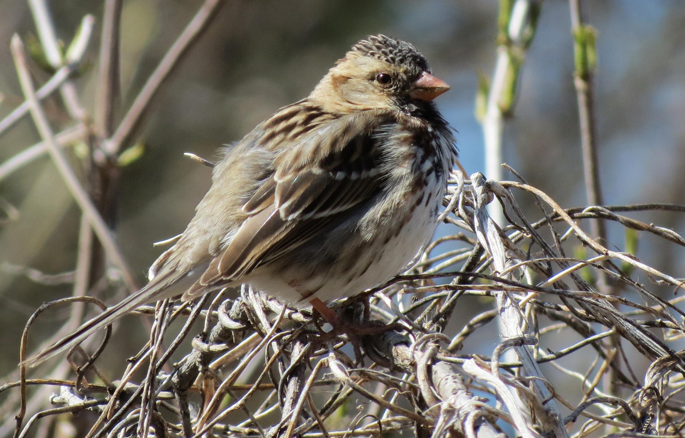 Song Sparrowtroysoderberg